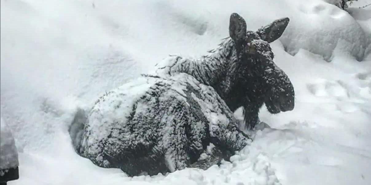 Napping moose closes library in Colorado