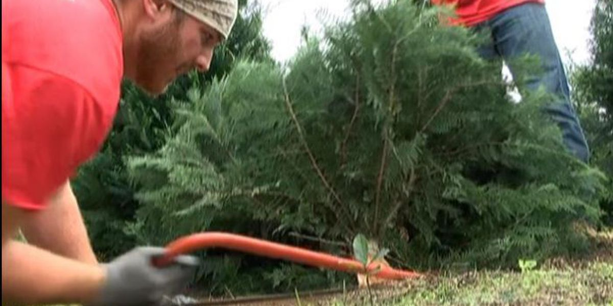 Pine Belt Christmas tree farms are in full swing
