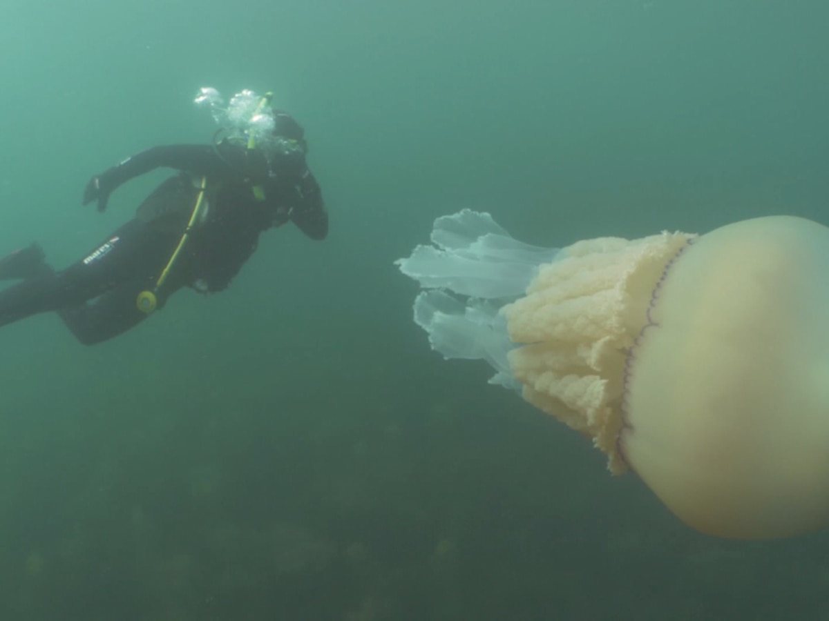 Human-sized jellyfish spotted off English coast