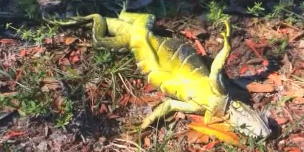 'Frozen' iguanas fall from trees in Florida