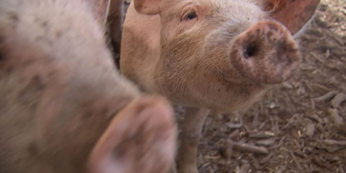 FDA Approves Genetically Modified Pig Safe To Eat & Use In Medications