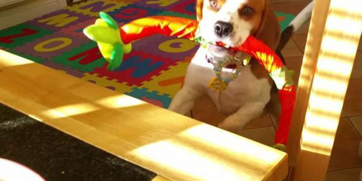 VIDEO: Dog wants to trade toy for breakfast