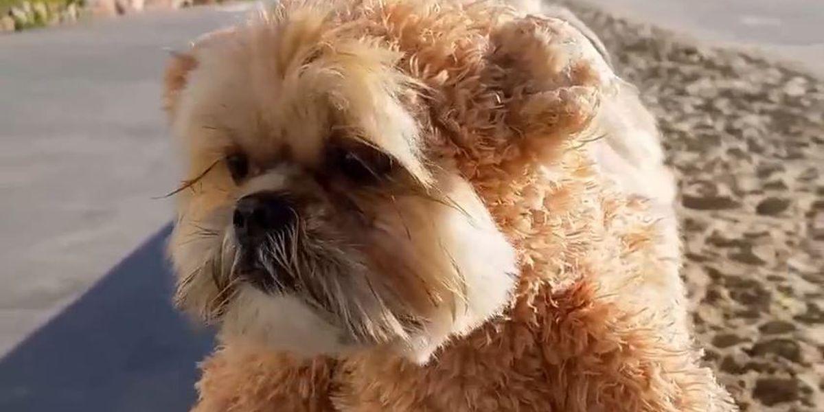 "VIDEO: ""Teddy Bear"" puppy goes for a stroll"