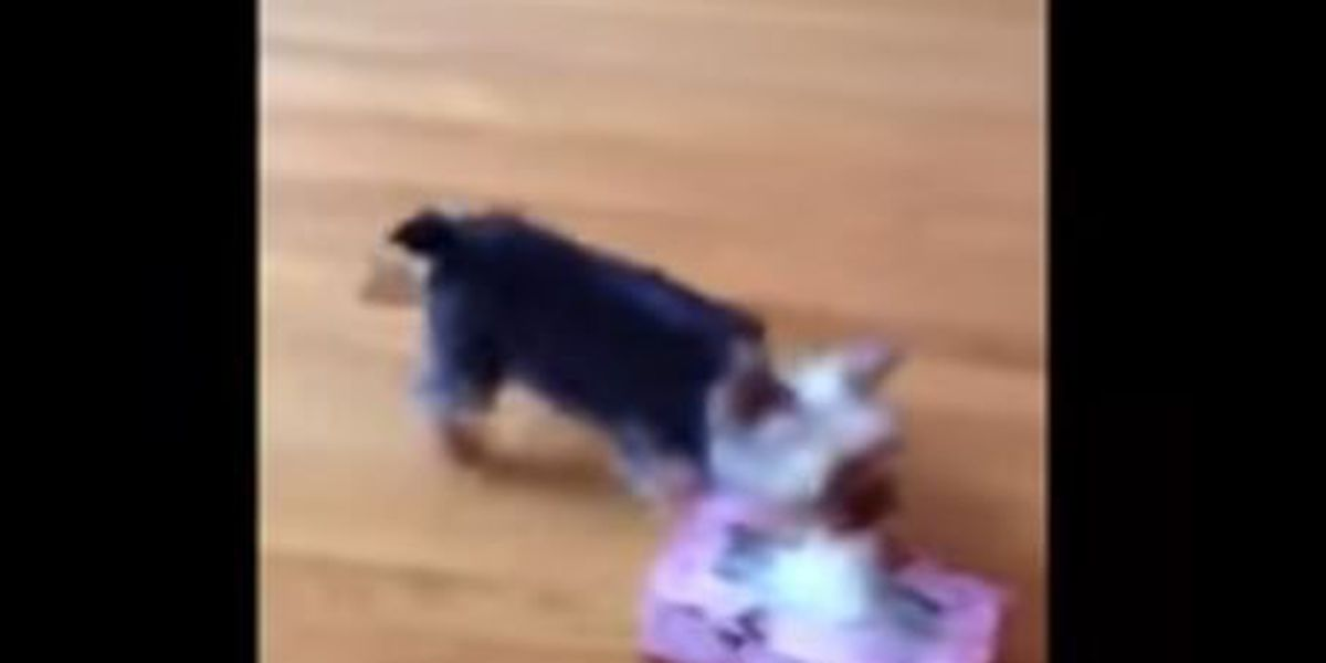 VIDEO: Yorkie fetches tissue for sneezing owner