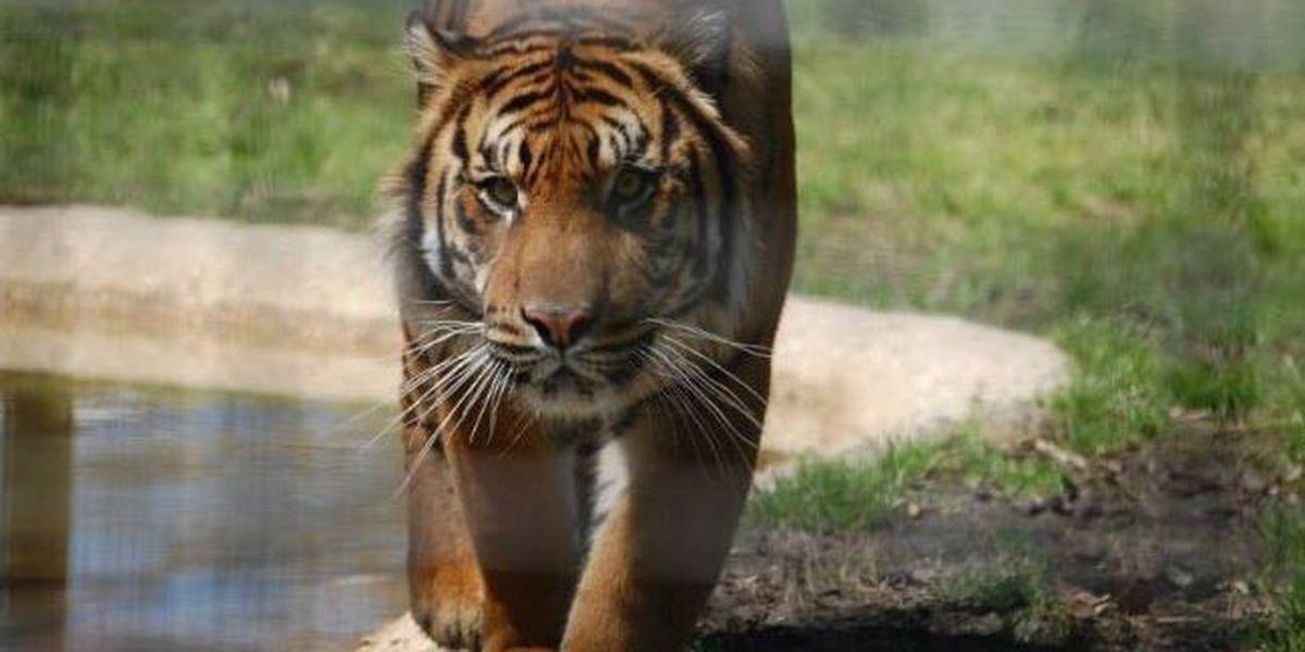 Hattiesburg Zoo announces death of Sumatran tiger