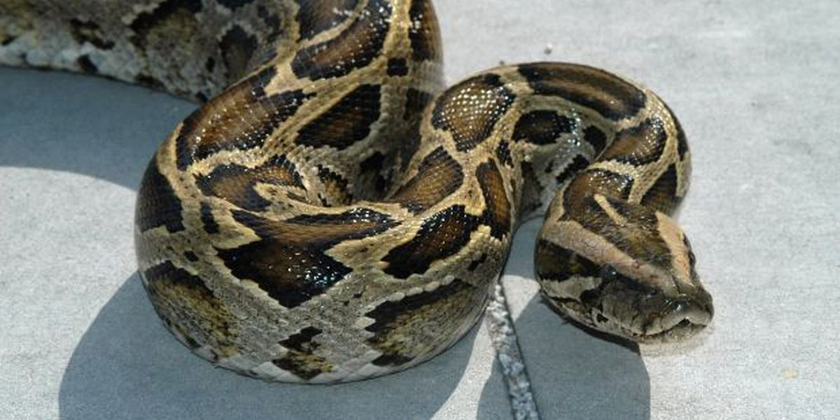 15-foot python escapes from truck in West Virginia (and they don't know where it is)