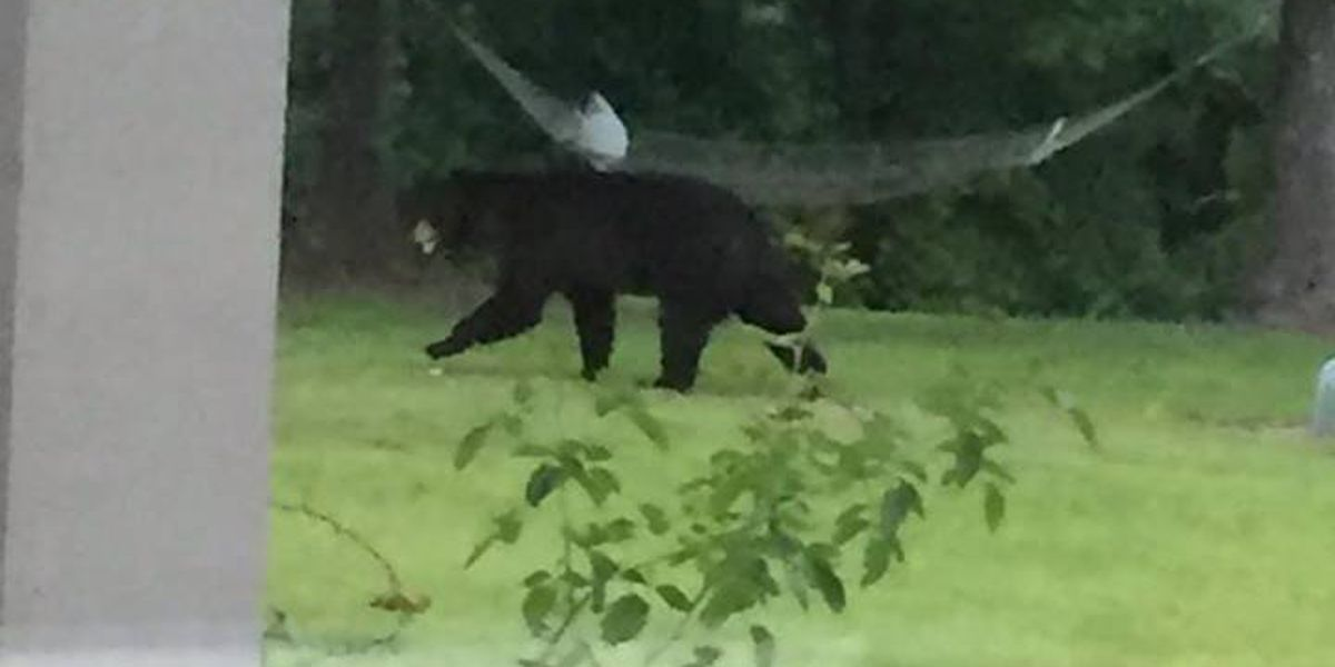 Black bear spotted in Forrest Co. resident's backyard