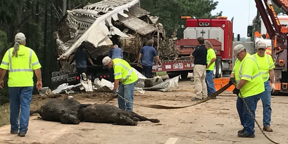 Tractor accident scatters 135 calves across Covington Co. highway