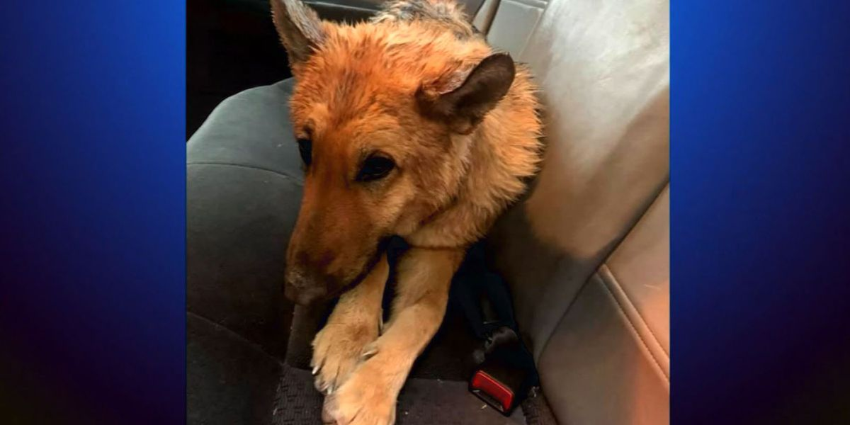 Florida dog stolen in 2017 reunited with family after being found abandoned in Colorado