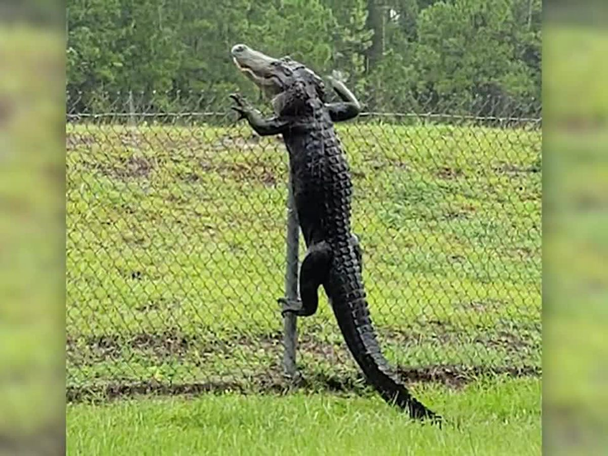 Run! Alligators can climb fences