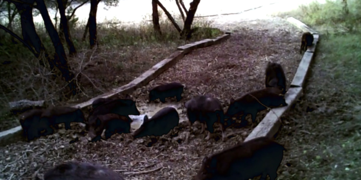 Wild hogs, other wildlife overrun Austin residential neighborhood