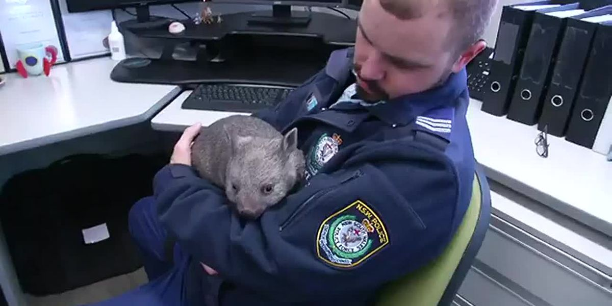 Baby wombat takes over Australian police station