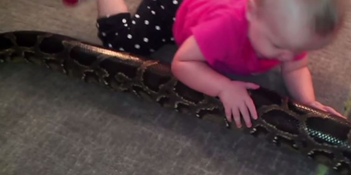 VIDEO:Baby plays with python