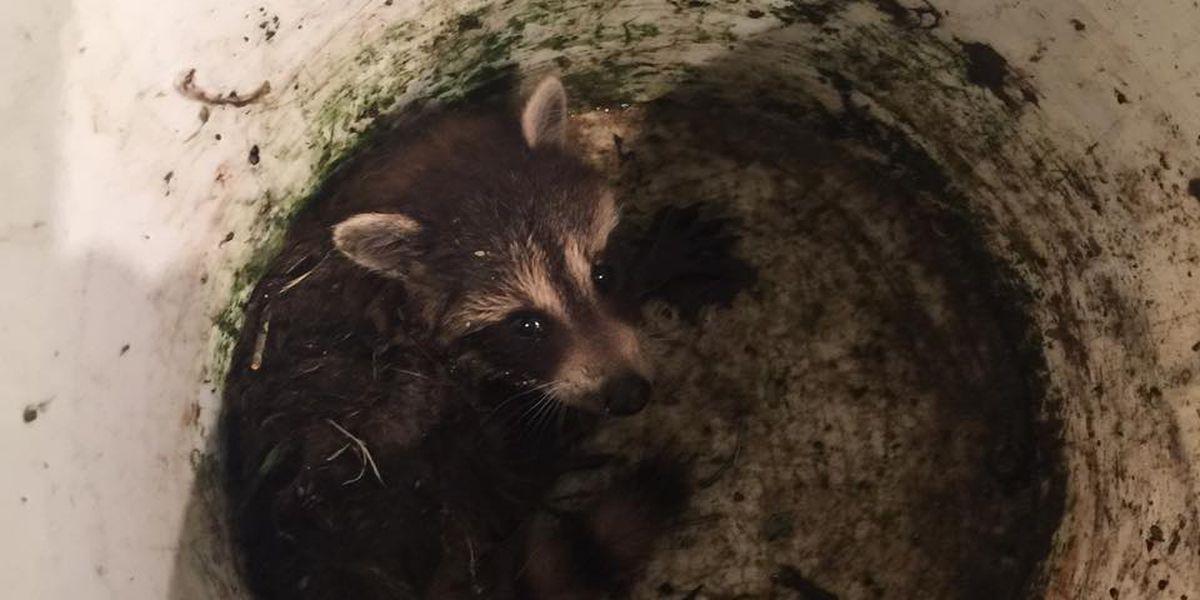 Jones, Jasper County Sheriff's Department team up to save raccoon