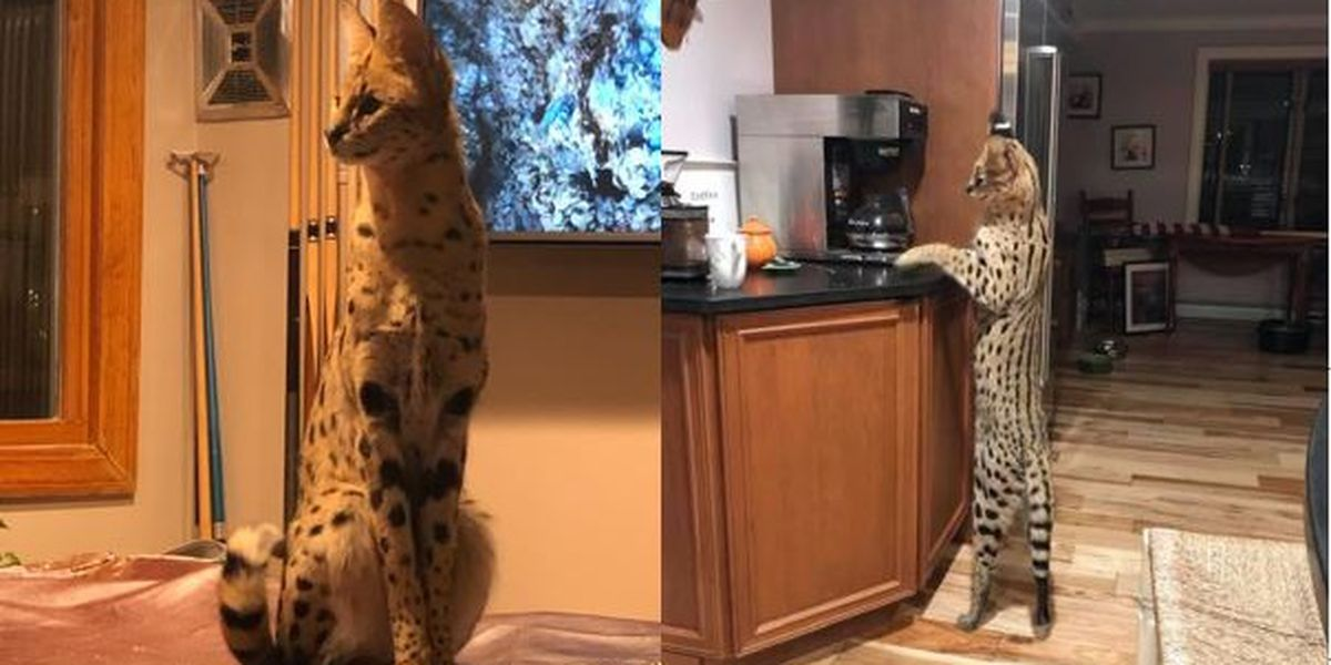 Missing African cat prowls New Hampshire city