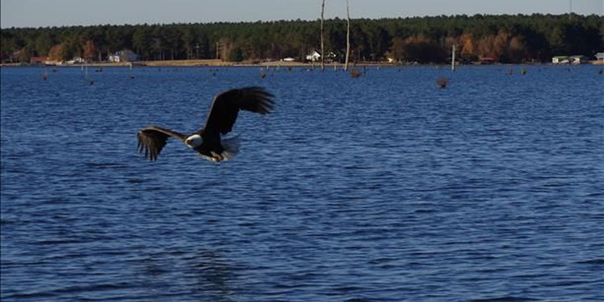 Eagle sightings from around The Pine Belt