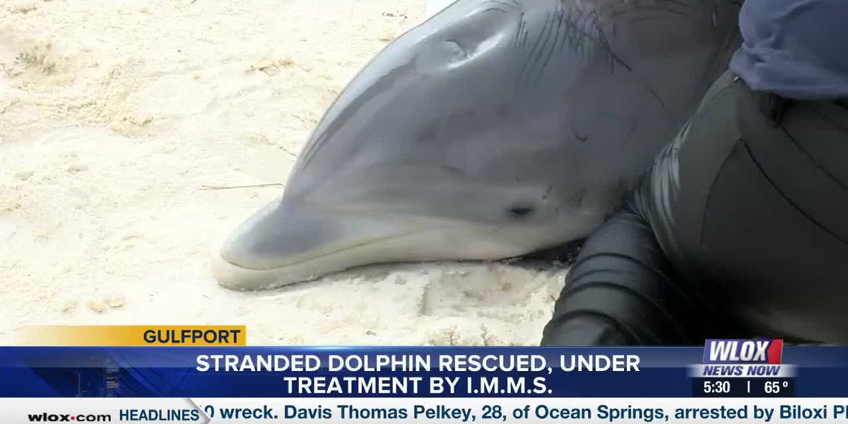 Stranded dolphin rescued under treatment by IMMS