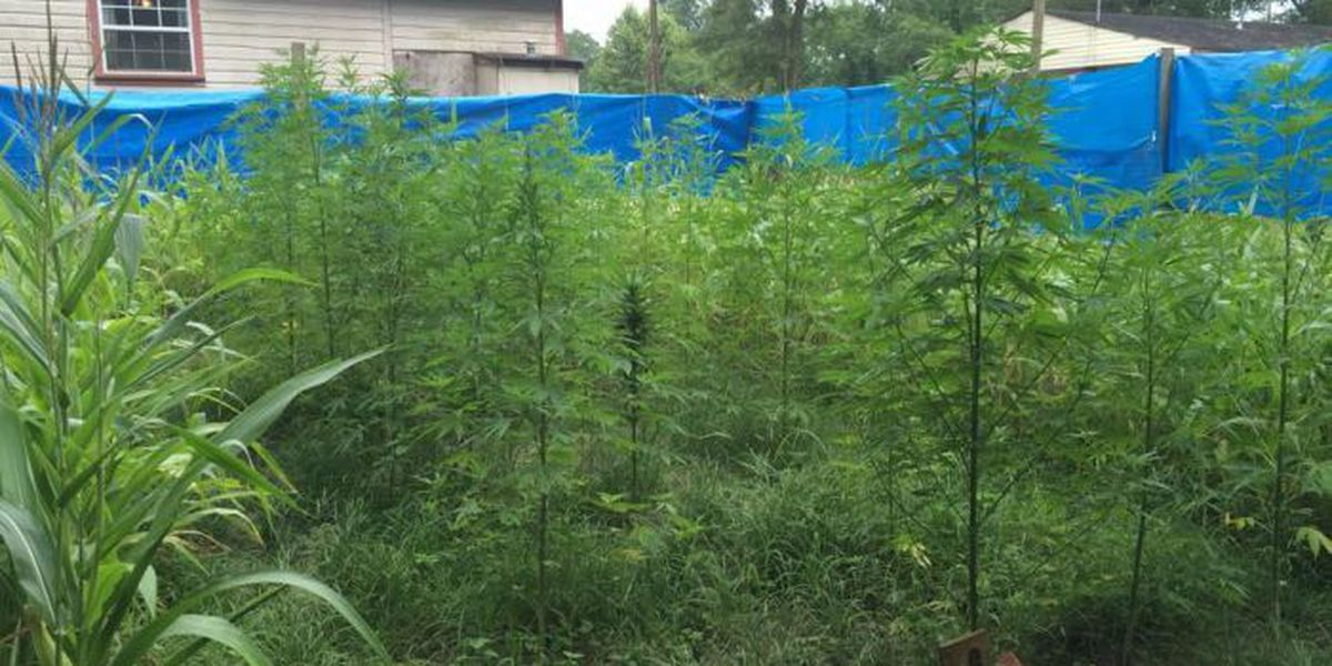 More than 50 marijuana plants seized in Jones County