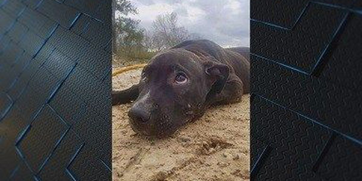 Puppy from alleged Wayne Co. dog fighting ring gets loving home