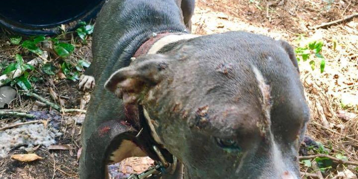 Laurel man charged with felony dog fighting, child endangerment