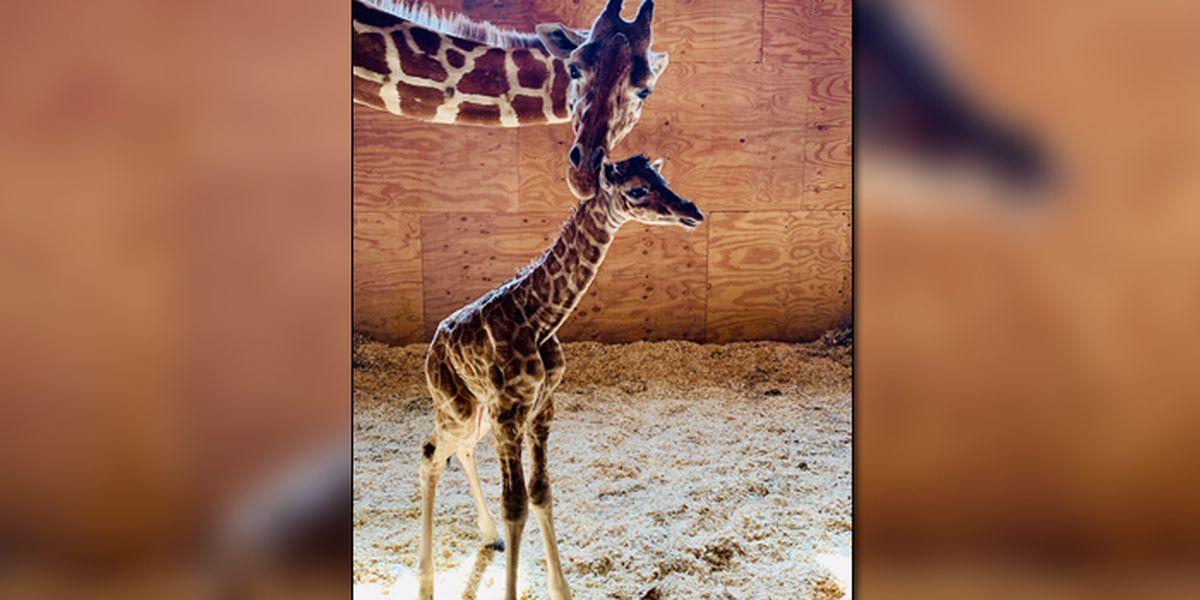 No more babies for April the Giraffe - she's going on birth control