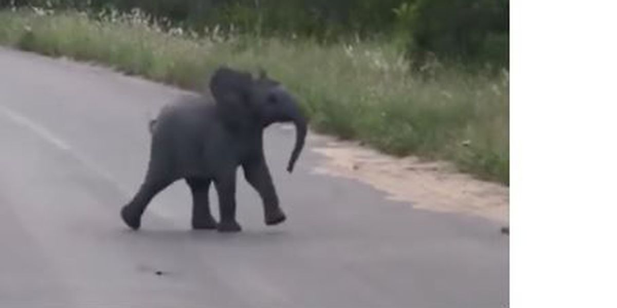 VIDEO: Baby elephant tries to chase away birds