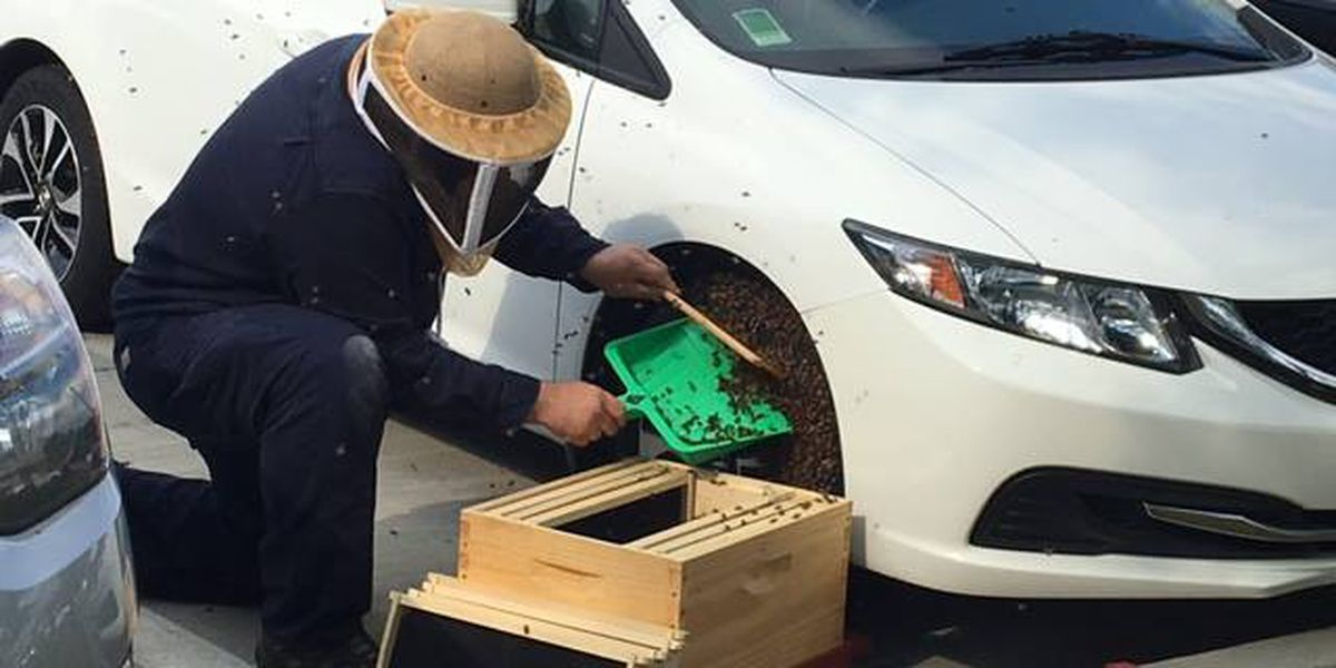 Spring honeybee swarm removed from car tire
