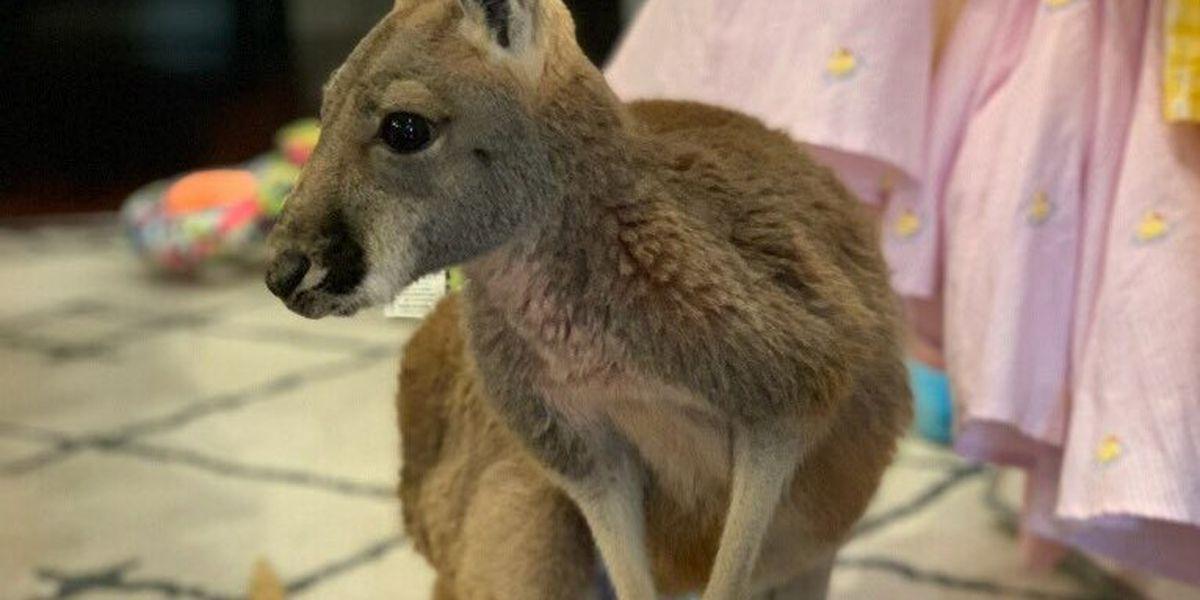 Gulfport Police searching for runaway kangaroo