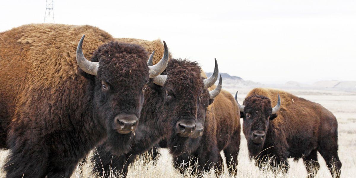 Nebraska woman gets bison car wash