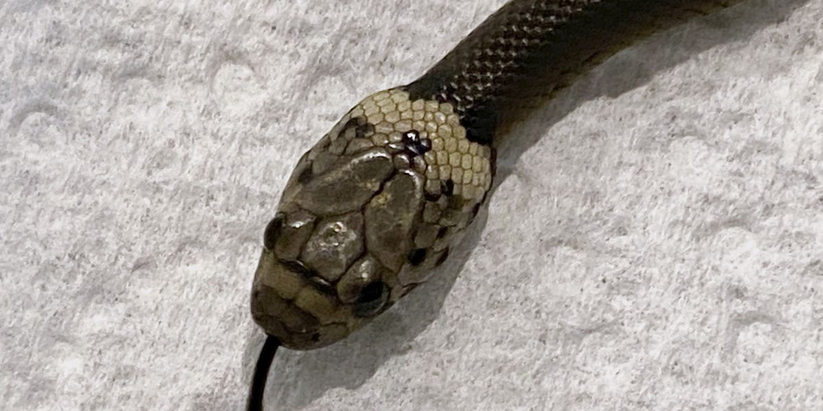 Australian man finds venomous snake in lettuce bought at supermarket