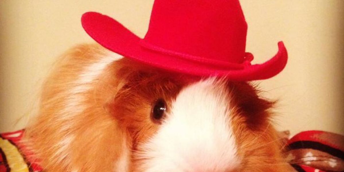 Mississippi woman creates guinea pig couture