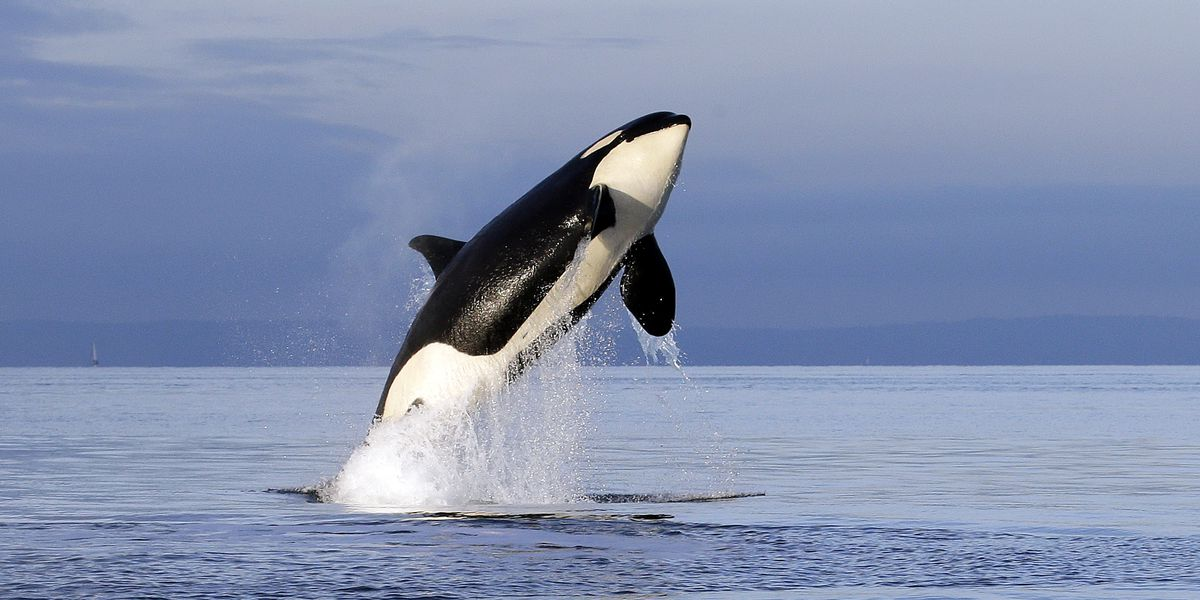 Washington governor proposes major steps for orca recovery