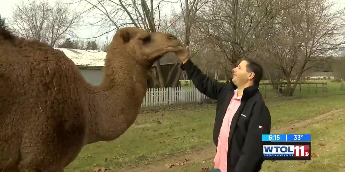 Scooby the camel takes over the streets of Toledo
