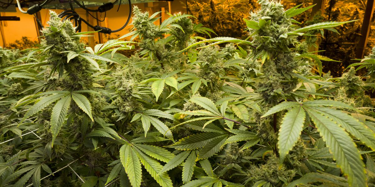 Nevada law prevents most employers from rejecting pot-users