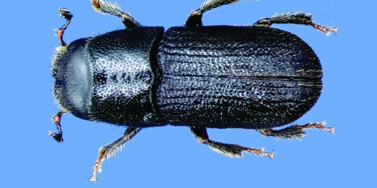 Mississippi facing Southern Pine Beetle outbreak