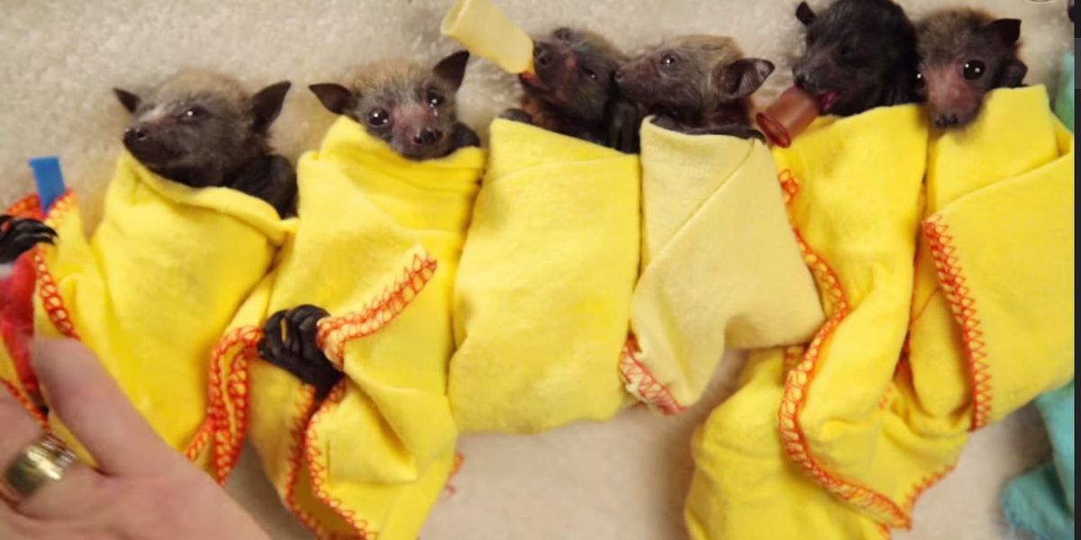 VIDEO: Rescued baby bats wrapped up like burritos