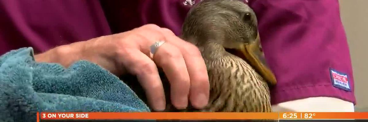 Mallory the duck gets a new prosthetic foot thanks to Rankin County Robotics Students