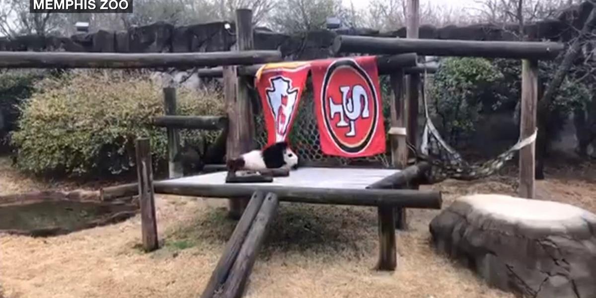 Memphis Zoo panda picks KC Chiefs to win the Super Bowl