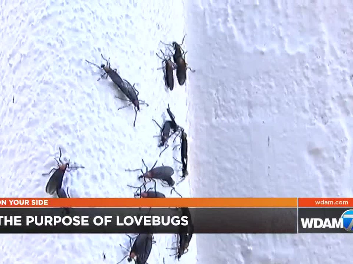 Expert explains the purpose of lovebugs