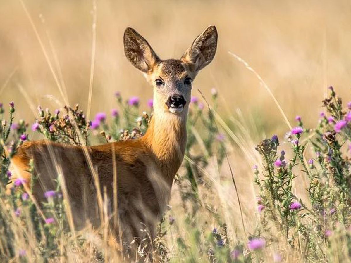Wildlife officials again tracking Chronic Wasting Disease in state deer population