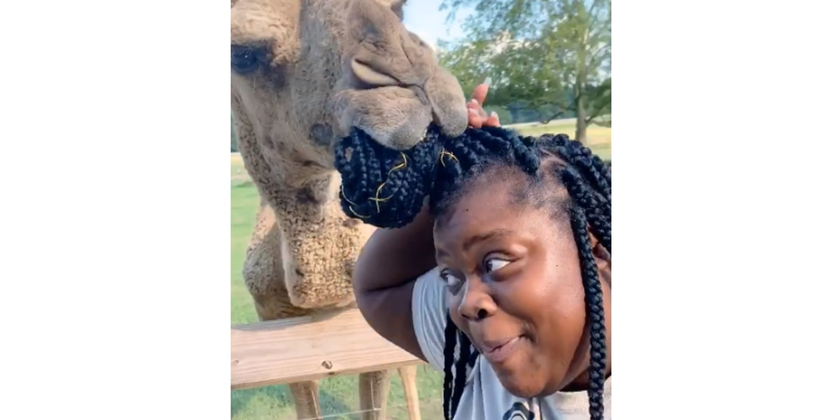 HILARIOUS VIDEO: Camel chows down on Jackson woman's hair at Brandon safari
