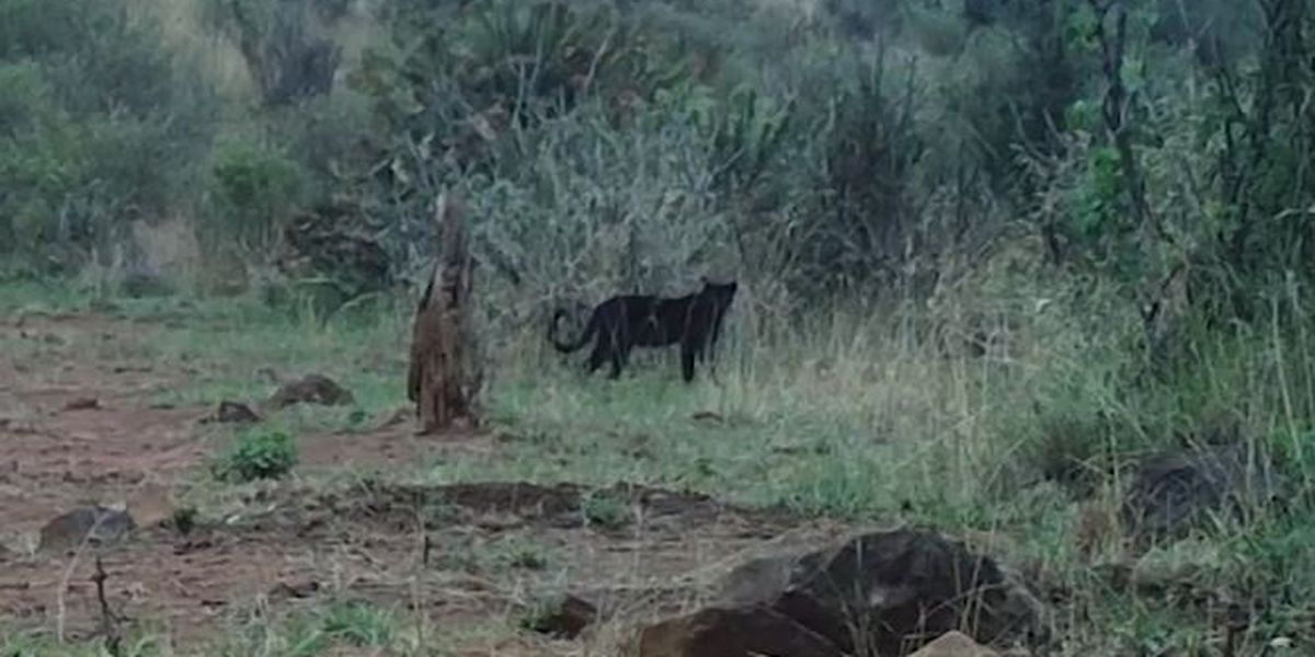 Rare African 'black panther' captured on camera in Kenya
