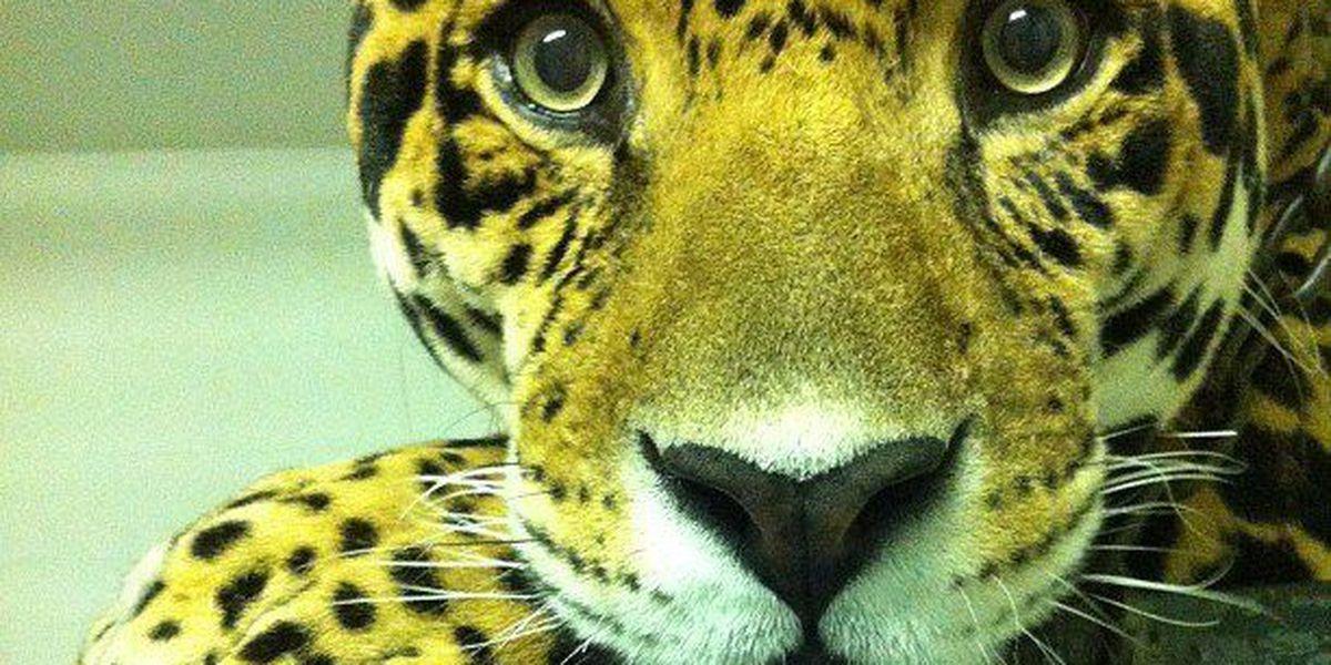 Hattiesburg Zoo mourns loss of beloved jaguar