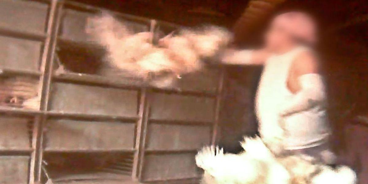 Mississippi farm under investigation for alleged chicken abuse