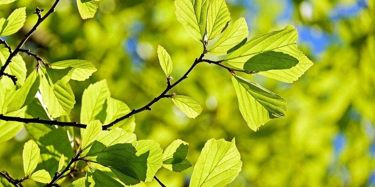 City of Hattiesburg to offer free tree seedlings
